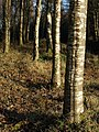 Birch trunks, Windy Cross - geograph.org.uk - 690751.jpg