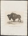 Bison americanus - 1700-1880 - Print - Iconographia Zoologica - Special Collections University of Amsterdam - UBA01 IZ21200237.tif