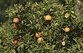 Bitter orange - Citrus × aurantium 02.jpg