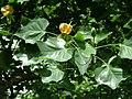 Blüte im Juni - panoramio.jpg