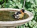 Black-headed Grosbeak (33679137693).jpg