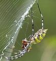 Black-lobed Garden Orb-web Spider (Argiope lobata) with prey (13624926483).jpg