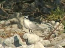 File:Black-naped Tern06.ogv