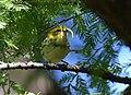 Black-throated Green Warbler gets a yummy (37134736073).jpg