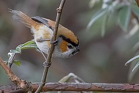 Black-throated Parrotbill East Sikkim India 19.04.2015.jpg
