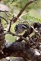 Black & White Warbler (Mniotilta varia) (8082134783).jpg