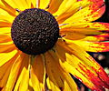 Black Eyed Susan - Middletown.jpg