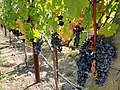 Black Stallion Winery, Napa Valley, California, USA (8039573178).jpg