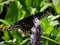 Black Swallowtail Papilio polyxenes asterius (38843082552).jpg