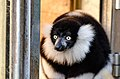 Black and white Ruffed Lemur (24423624734).jpg