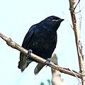 Black cuckooshrike at Manavhela Ben Lavin Nature Reserve, Machado, Limpopo (37313228910).jpg
