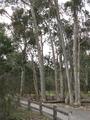 Blackburn Lake Eucalypts.PNG