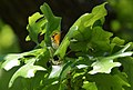 Blackburnian Warbler (almost got THE shot, but not quite - not yet) (34454070391).jpg