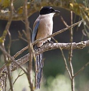 Iberian magpie - Image: Blauelester donana