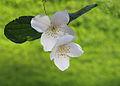 Bloemen van Jasmijn (Jasminum) 02.JPG