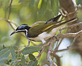 Blue-faced Honeyeater (Entomyzon cyanotis) 690V0110 - Flickr - Lip Kee.jpg