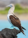 Blue-footed-booby.jpg