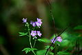 Blue-forest-flowers - West Virginia - ForestWander.jpg
