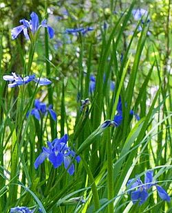 Blue Iris at Jean Lafitte Barataria Unit (cropped).jpg