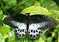 Blue Mormon ( Papilio polymnestor) (5324112114).jpg