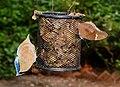 Blue Oakleaf and Great Eggfly by Dr. Raju Kasambe DSCN7988 (2).jpg