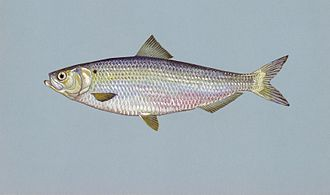 Blueback herring - Image: Blueback herring fish image