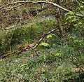 Bluebells, Ten Acre Brake - geograph.org.uk - 763861.jpg