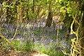 Bluebells in Plymbridge Woods (4562).jpg