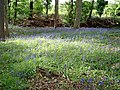 Bluebells in Rod Wood - geograph.org.uk - 173716.jpg