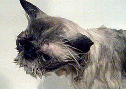 54e72ea39026 Γάτος Ιμαλαΐων στο μπάνιο. Φαίνονται τα χαρακτηριστικά μεγάλα μάτια καθώς  και η βραχυκεφαλία (ευρύ και επίπεδο πρόσωπο) του είδους.