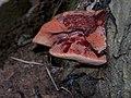 Blutender Baumschwamm - panoramio.jpg