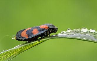 Cercopidae - Cercopis vulnerata