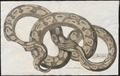 Boa cenchris - 1734-1765 - Print - Iconographia Zoologica - Special Collections University of Amsterdam - UBA01 IZ11900091.tif
