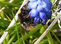 Bombus pratorum . Early Bumble Bee - Flickr - gailhampshire.jpg