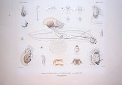 Bonite-mollusques-pl22.jpg