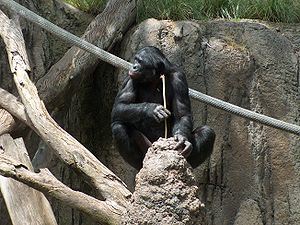 "Animal cognition - The bonobo starts ""fishing"" for the termites."
