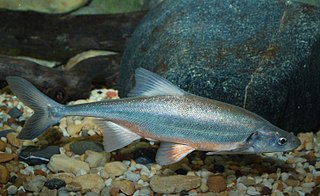 Bonytail chub species of fish