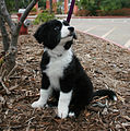 Border Collie Mosi.jpg