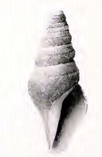 <i>Borsonella barbarensis</i> species of mollusc