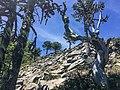 Bosque de araucarias, sendero cerro San Sebastian, parque Huerquehue.jpg