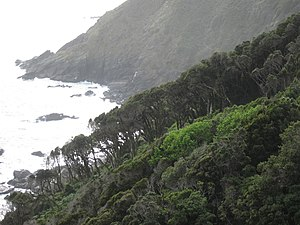 Valdivian temperate rain forest - An old-grown pure stand of Aextoxicon in Punta Curiñanco at the Pacific coast.