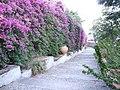 Bougainvillea-Hotel San Domenico-Taormina-Sicilia-Italy-Castielli CC0 HQ - panoramio - gnuckx (1).jpg