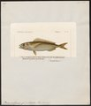 Box vulgaris - 1700-1880 - Print - Iconographia Zoologica - Special Collections University of Amsterdam - UBA01 IZ13100009.tif