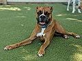 Boxer puppy .jpg