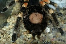 Tarantula - Wikipedia