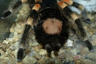 Adult female Brachypelma smithi, showing a bald patch after kicking bristles off her abdomen Brachypelma smithi, urticating hairs 02.JPG