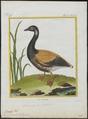 Branta bernicla - 1700-1880 - Print - Iconographia Zoologica - Special Collections University of Amsterdam - UBA01 IZ17600161.tif