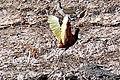 Brazil-00393 - Wattled Jacana (48963301623).jpg