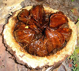 Brazil nut - A freshly cut Brazil nut fruit