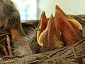Breakfast for baby Robins (6055377861).jpg